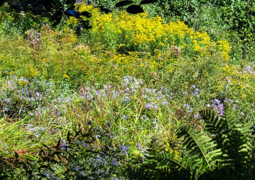 1-asters-and-goldenrod