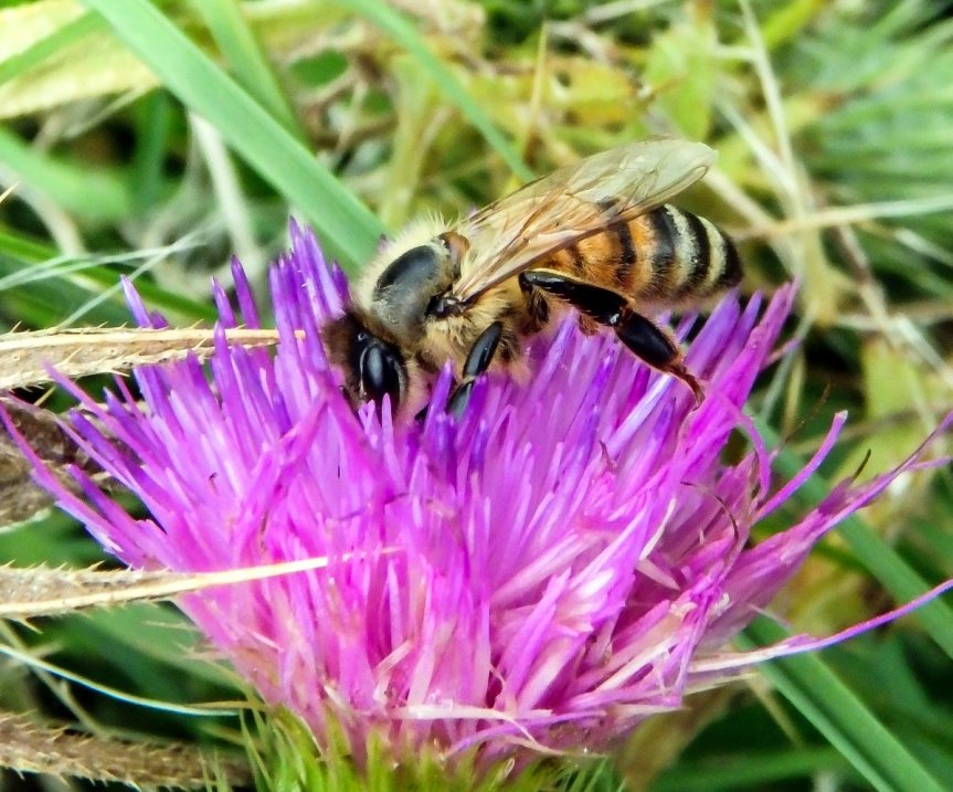 2-bee-on-thistle