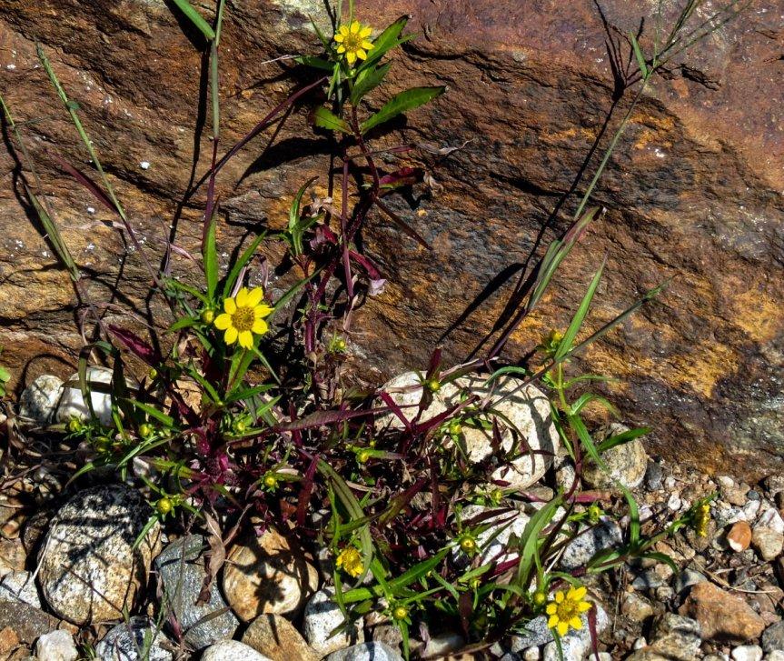 2-nodding-bur-marigold-plant