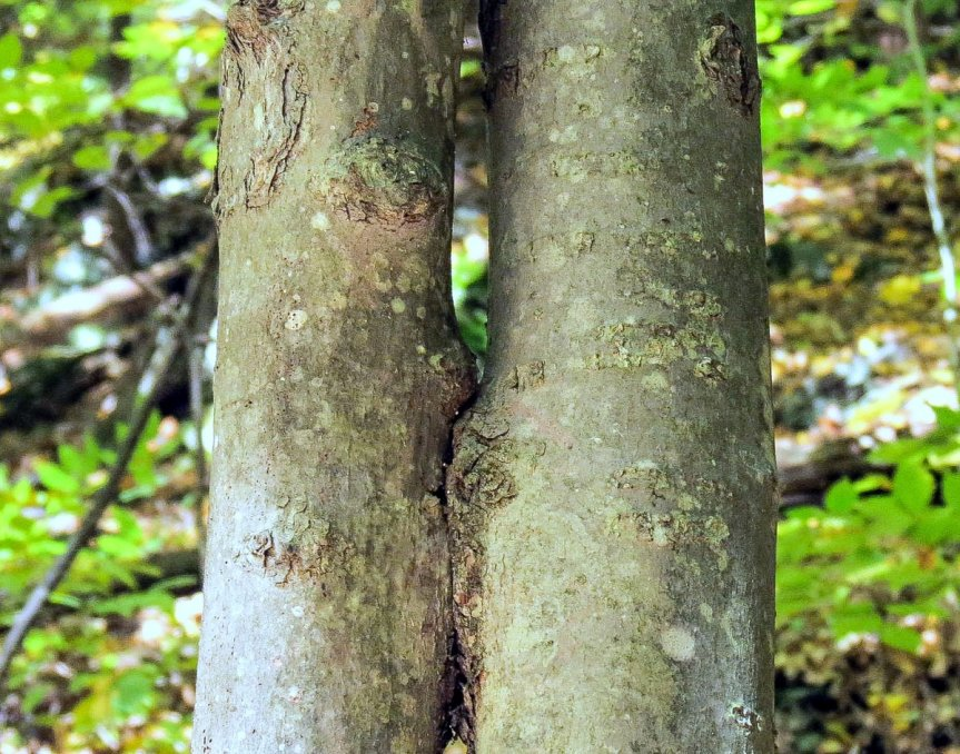 2-natural-graft-on-maplws