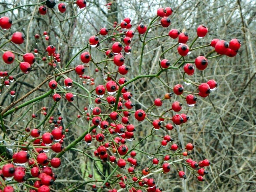 2-multiflora-rose-hips