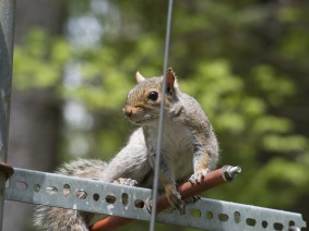 graysquirrel-20160519-5