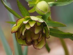 greenjadehellebore-20160323-4