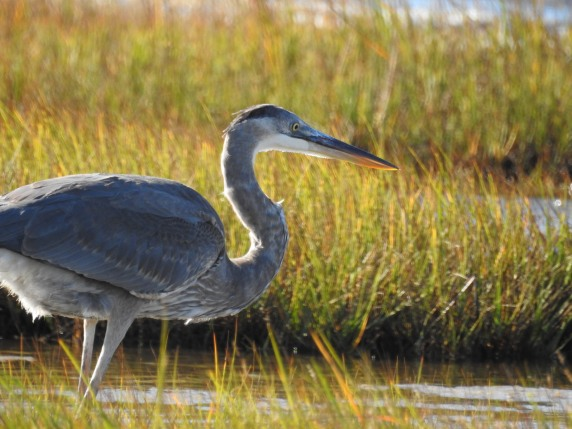 Great Blue Heron fishing at Parker River Wildlife Refuge