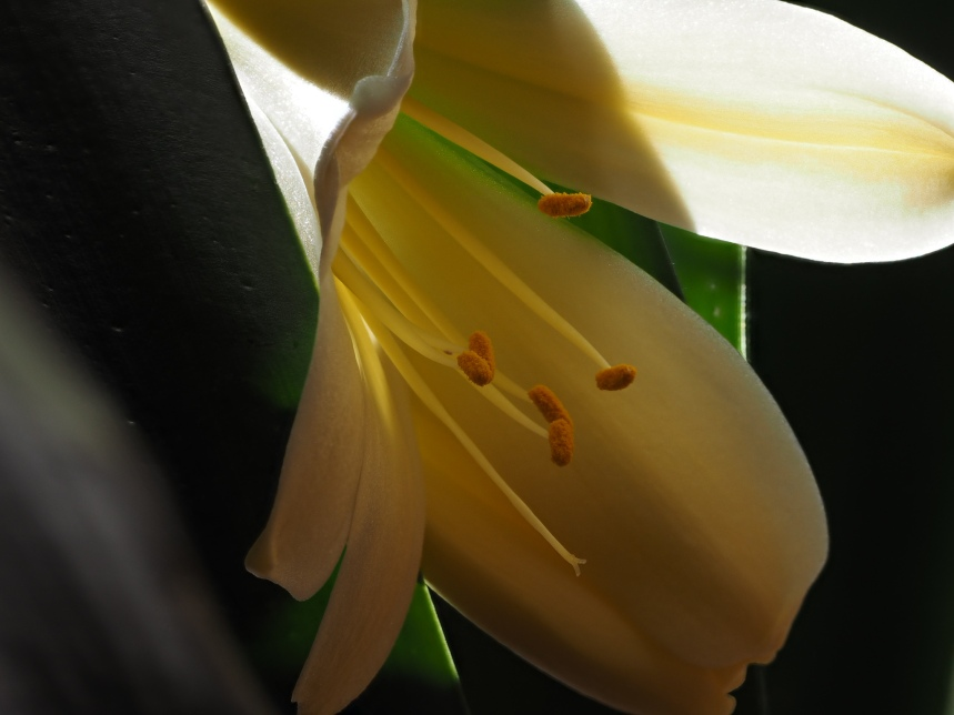 yellowclivia-20160218-52